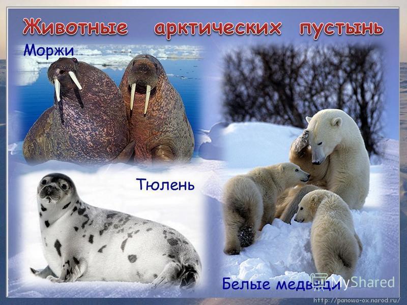 ʹ Моржи Тюлень Белые медведи