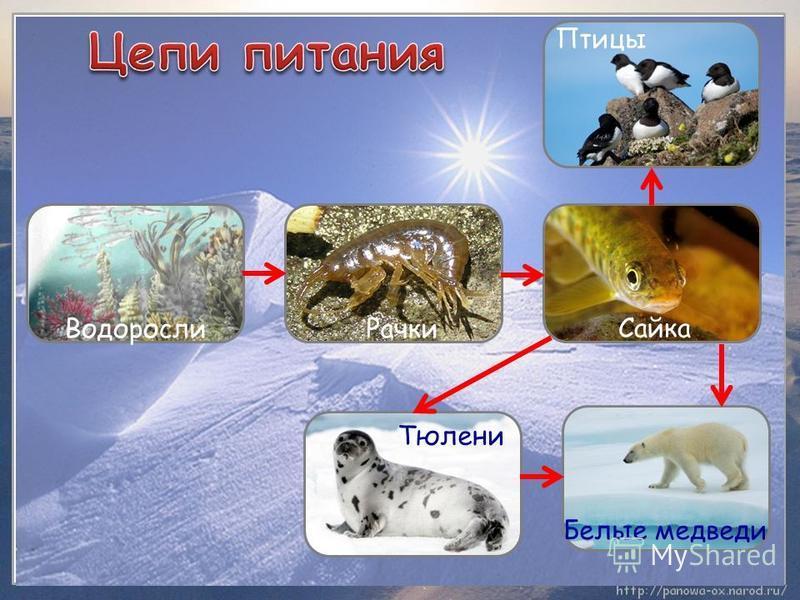 Белые медведи Тюлени Водоросли Птицы Сайка Рачки