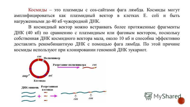 Космиды – это плазмиды с cos-сайтами фага лямбда. Космиды могут амплифицироваться как плазмидный вектор в клетках E. coli и быть нагруженными до 40 кб чужеродной ДНК. В космидный вектор можно встраивать более протяженные фрагменты ДНК (40 кб) по срав