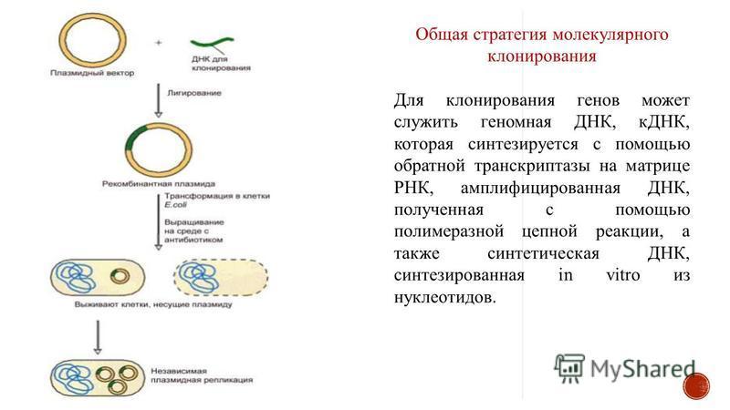 Общая стратегия молекулярного клонирования Для клонирования генов может служить геномная ДНК, кДНК, которая синтезируется с помощью обратной транскриптазы на матрице РНК, амплифицированная ДНК, полученная с помощью полимеразной цепной реакции, а такж