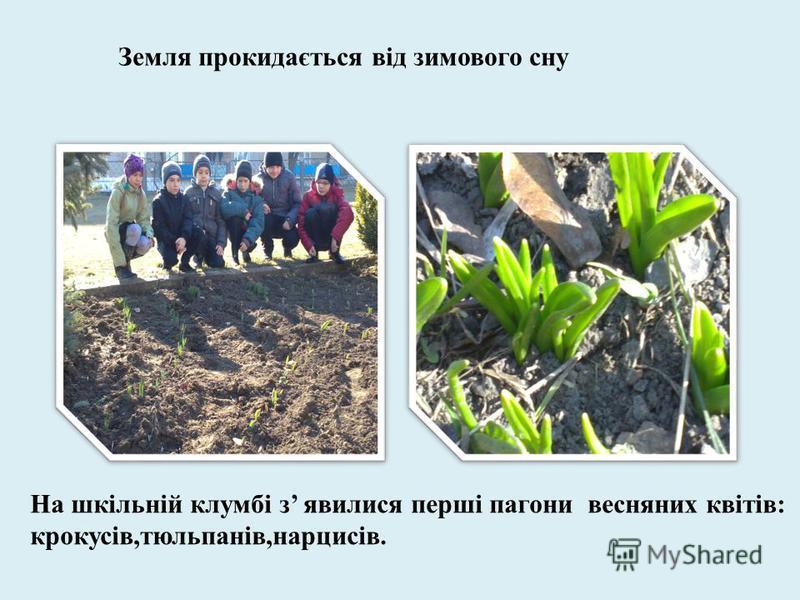 Земля прокидається від зимового сну На шкільній клумбі з явилися перші пагони весняних квітів: крокусів,тюльпанів,нарцисів.