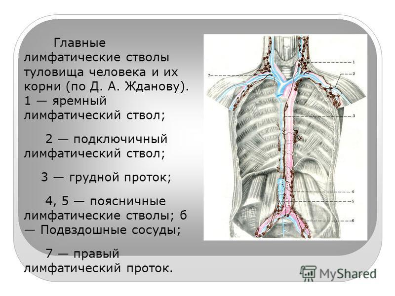 Главные лимфатические стволы туловища человека и их корни (по Д. А. Жданову). 1 яремный лимфатический ствол; 2 подключичный лимфатический ствол; 3 грудной проток; 4, 5 поясничные лимфатические стволы; б Подвздошные сосуды; 7 правый лимфатический прот