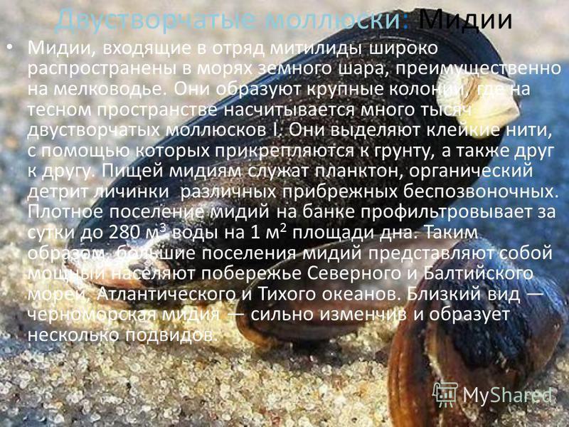 Двустворчатые моллюски Брюхоногие моллюски Головоногие моллюски Дубинчук Е. 7-б класс