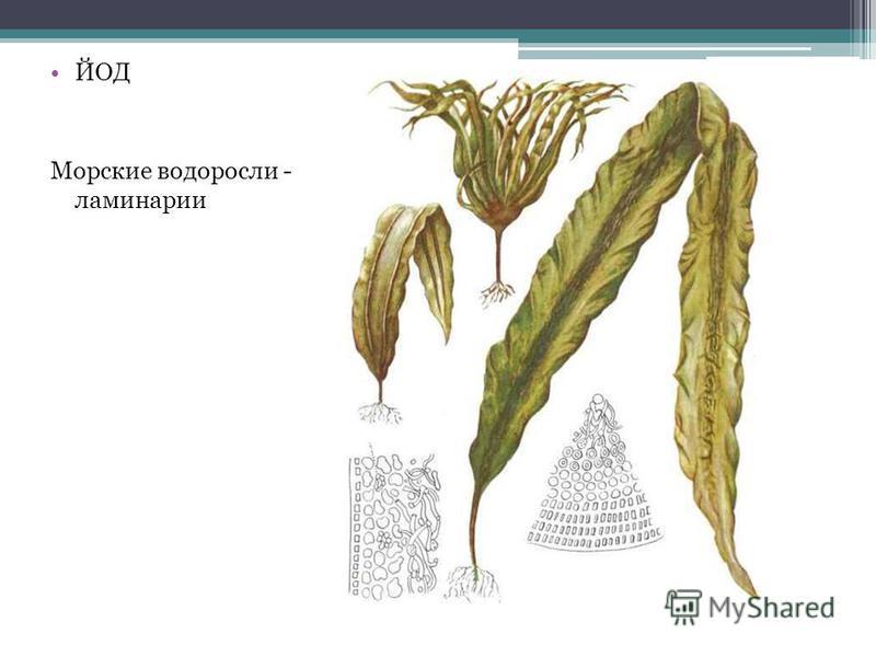 ЙОД Морские водоросли - ламинарии
