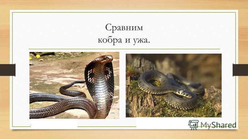 Сравним кобра и ужа. ядовитая Не ядовитая