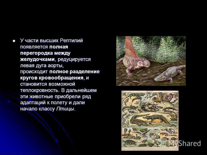У части высших Рептилий появляется полная перегородка между желудочками, редуцируется левая дуга аорты, происходит полное разделение кругов кровообращения, и становится возможной теплокровность. В дальнейшем эти животные приобрели ряд адаптаций к пол