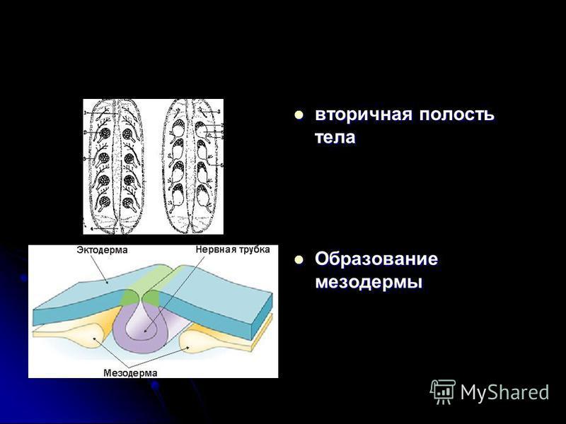 вторичная полость тела вторичная полость тела Образование мезодермы Образование мезодермы