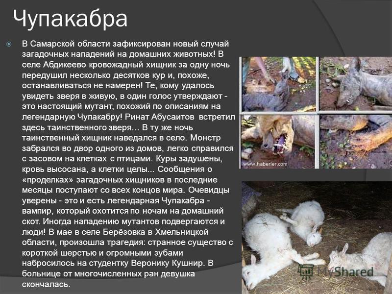 Чупакабра В Самарской области зафиксирован новый случай загадочных нападений на домашних животных! В селе Абдикеево кровожадный хищник за одну ночь передушил несколько десятков кур и, похоже, останавливаться не намерен! Те, кому удалось увидеть зверя