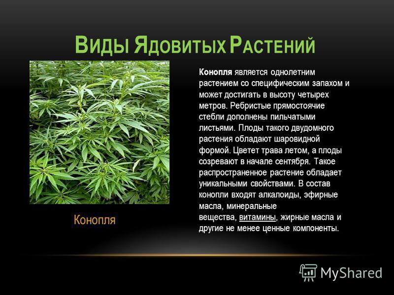 Конопля является однолетним растением со специфическим запахом и может достигать в высоту четырех метров. Ребристые прямостоячие стебли дополнены пильчатыми листьями. Плоды такого двудомного растения обладают шаровидной формой. Цветет трава летом, а
