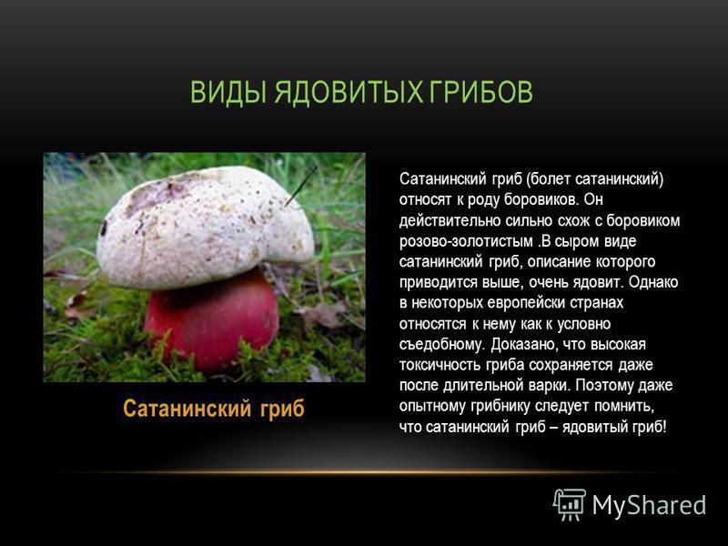 ВИДЫ ЯДОВИТЫХ ГРИБОВ Сатанинский гриб (болеет сатанинский) относят к роду боровиков. Он действительно сильно схож с боровиком розово-золотистым.В сыром виде сатанинский гриб, описание которого приводится выше, очень ядовит. Однако в некоторых европей