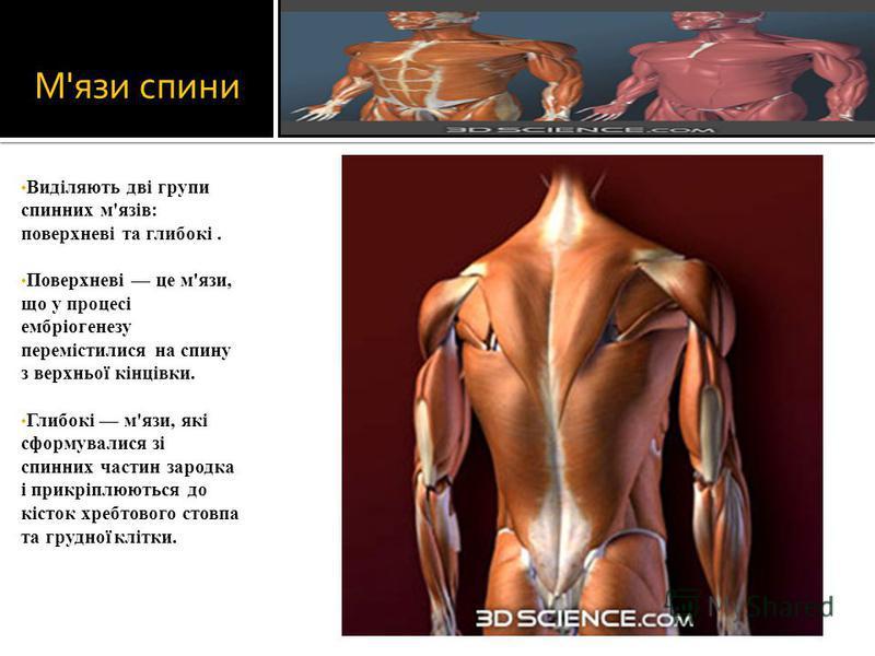 М'язи спини Виділяють дві групи спинних м'язів: поверхневі та глибокі. Поверхневі це м'язи, що у процесі ембріогенезу перемістилися на спину з верхньої кінцівки. Глибокі м'язи, які сформувалися зі спинних частин зародка і прикріплюються до кісток хре