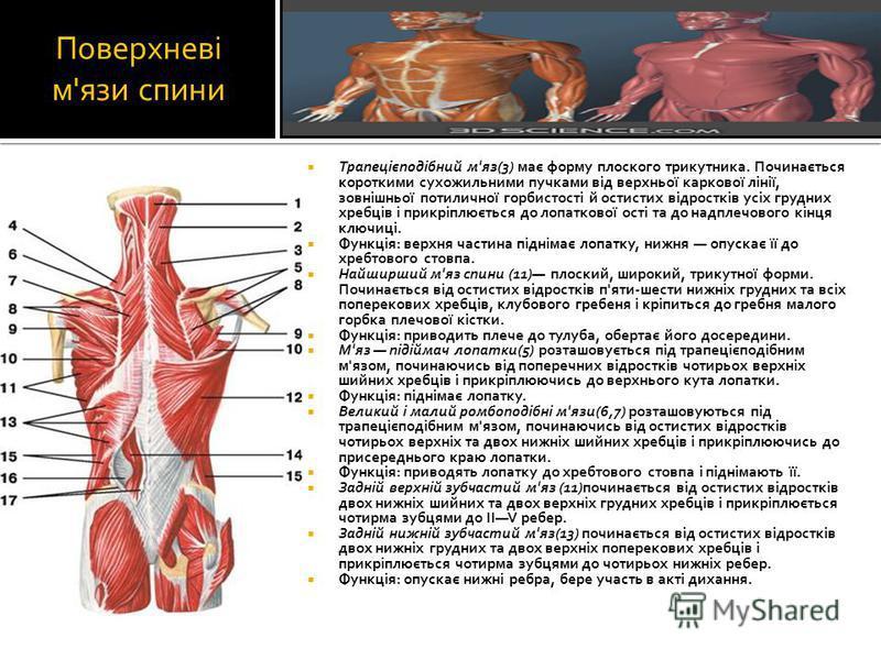Поверхневі м'язи спини Трапецієподібний м'яз(3) має форму плоского трикутника. Починається короткими сухожильними пучками від верхньої каркової лінії, зовнішньої потиличної горбистості й остистих відростків усіх грудних хребців і прикріплюється до ло