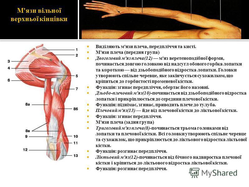 М'язи вільної верхньої кінцівки Виділяють м'язи плеча, передпліччя та кисті. М'язи плеча (передня група) Двоголовий м'яз плеча(12) м'яз веретеноподібної форми, починається довгою головкою від надсугл обового горбка лопатки та короткою від дзьобоподіб