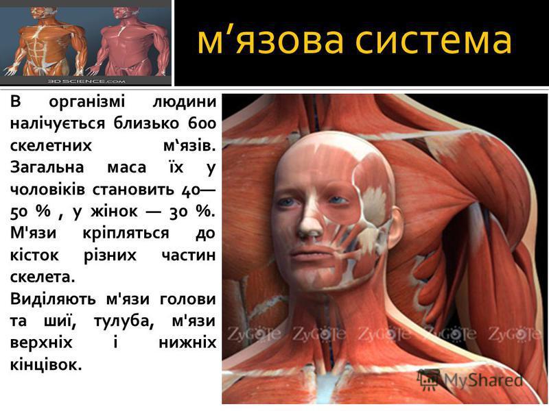 мязова система В організмі людини налічується близько 600 скелетних мязів. Загальна маса їх у чоловіків становить 40 50 %, у жінок 30 %. М'язи кріпляться до кісток різних частин скелета. Виділяють м'язи голови та шиї, тулуба, м'язи верхніх і нижніх к