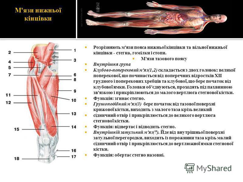М'язи нижньої кінцівки Розрізняють м'язи пояса нижньої кінцівки та вільної нижньої кінцівки - стегна, гомілки і стопи. М'язи тазового поясу Внутрішня група Клубово-поперековий м'яз(1,2) складається з двох головок: великої поперекової, що починається