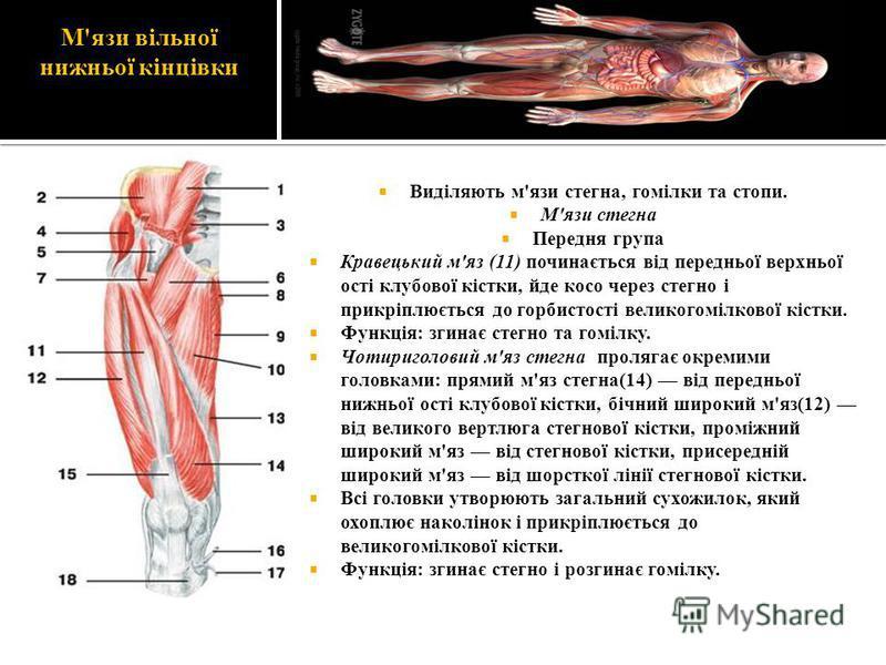 М'язи вільної нижньої кінцівки Виділяють м'язи стегна, гомілки та стопи. М'язи стегна Передня група Кравецький м'яз (11) починається від передньої верхньої ості клубової кістки, йде косо через стегно і прикріплюється до горбистості великогомілкової к