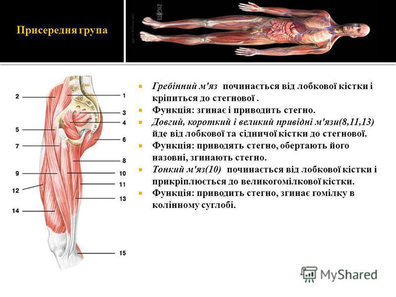 Присередня група Гребінний м'яз починається від лобкової кістки і кріпиться до стегнової. Функція: згинає і приводить стегно. Довгий, короткий і великий привідні м'язи(8,11,13) йде від лобкової та сідничої кістки до стегнової. Функція: приводять стег