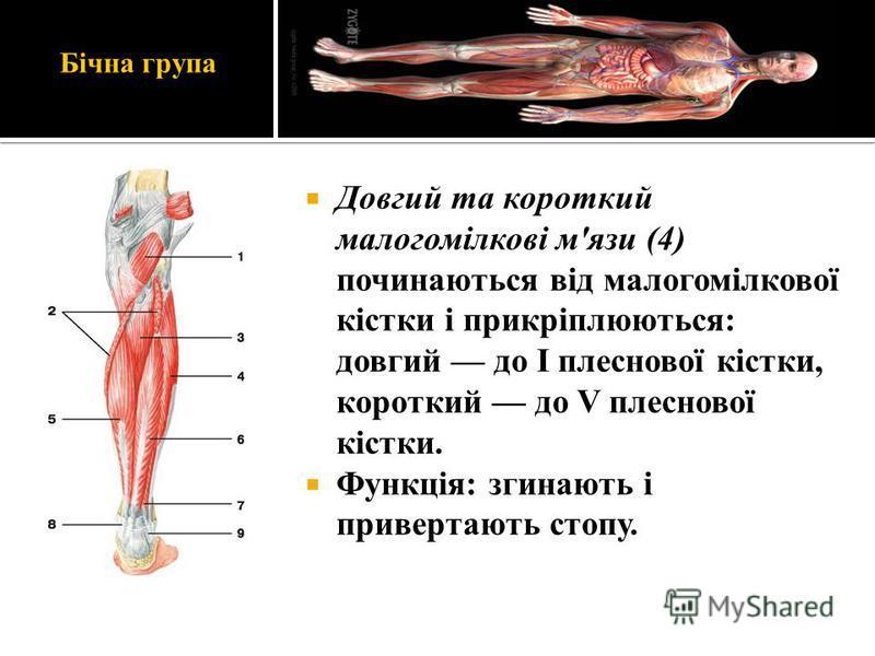 Бічна група Довгий та короткий малогомілкові м'язи (4) починаються від малогомілкової кістки і прикріплюються: довгий до І плеснової кістки, короткий до V плеснової кістки. Функція: згинають і привертають стопу.