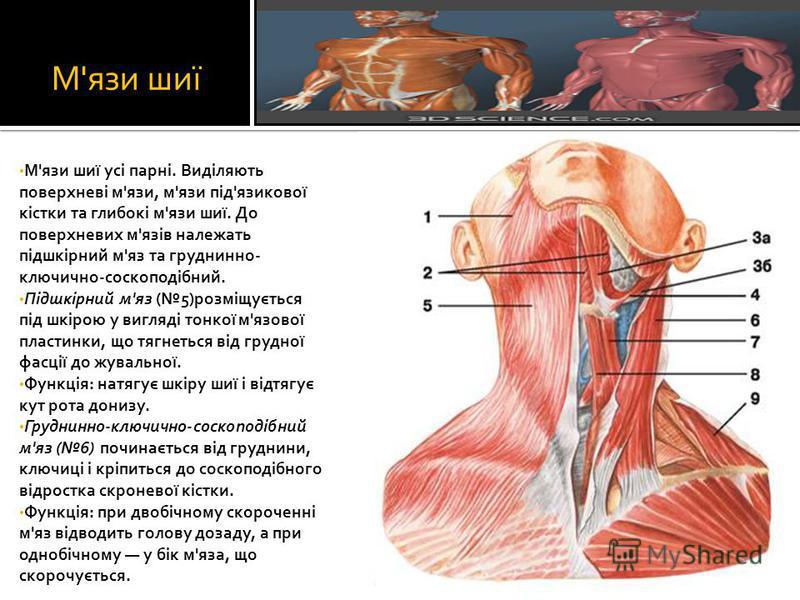 М'язи шиї М'язи шиї усі парні. Виділяють поверхневі м'язи, м'язи під'язикової кістки та глибокі м'язи шиї. До поверхневих м'язів належать підшкірний м'яз та груднинно- ключично-соскоподібний. Підшкірний м'яз (5)розміщується під шкірою у вигляді тонко