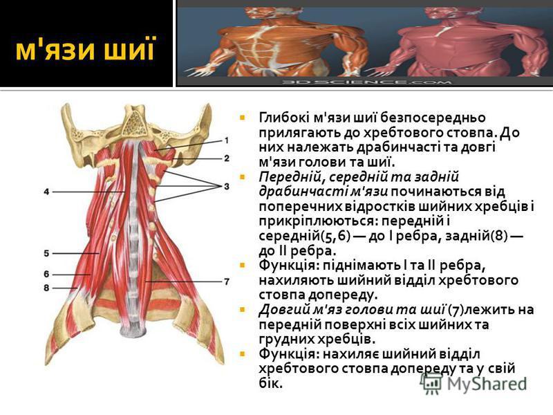 м'язи шиї Глибокі м'язи шиї безпосередньо прилягають до хребтового стовпа. До них належать драбинчасті та довгі м'язи голови та шиї. Передній, середній та задній драбинчасті м'язи починаються від поперечних відростків шийних хребців і прикріплюються: