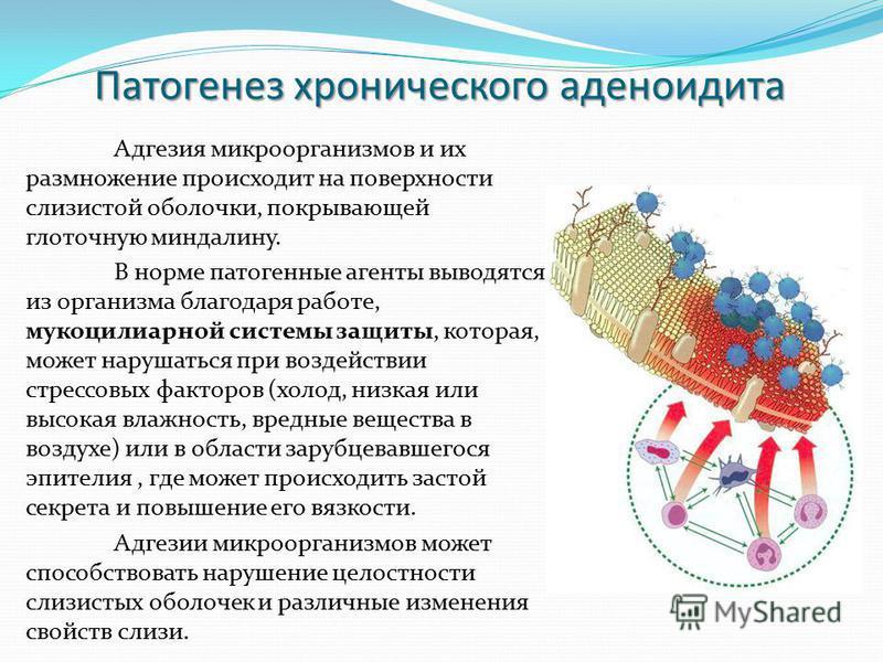 Патогенез хронического аденоидита Адгезия микроорганизмов и их размножение происходит на поверхности слизистой оболочки, покрывающей глоточную миндалину. В норме патогенные агенты выводятся из организма благодаря работе, мукоцилиарной системы защиты,