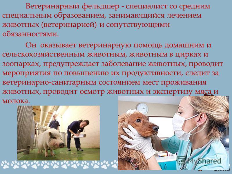 Ветеринарный фельдшер - специалист со средним специальным образованием, занимающийся лечением животных (ветеринарией) и сопутствующими обязанностями. Он оказывает ветеринарную помощь домашним и сельскохозяйственным животным, животным в цирках и зоопа