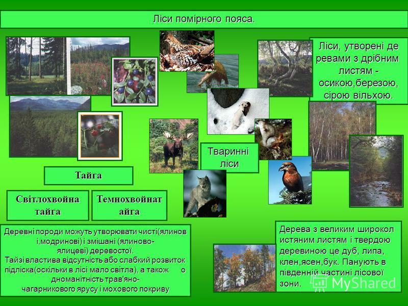 Ліси, утворені де ревами з дрібним листям - осикою,березою, сірою вільхою. Ліси помірного пояса. Тайга Світлохвойна тайга Темнохвойнат айга Деревні породи можуть утворювати чисті(ялинов і,модринові) і змішані (ялиново- ялицеві) деревостої. Тайзі влас