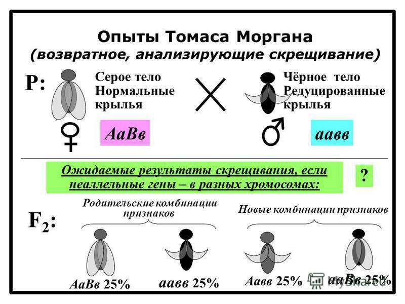 Опыты Томаса Моргана (возвратное, анализирующие скрещивание) F2:F2: Родительские комбинации признаков Новые комбинации признаков P:P: Серое тело Нормальные крылья Чёрное тело Редуцированные крылья Аа Ввпав Ожидаемые результаты скрещивания, если неалл