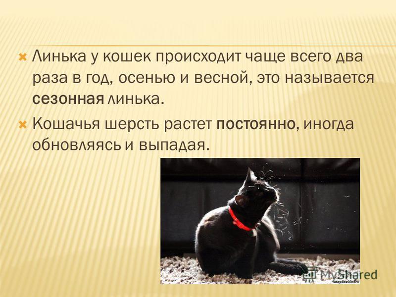 Линька у кошек происходит чаще всего два раза в год, осенью и весной, это называется сезонная линька. Кошачья шерсть растет постоянно, иногда обновляясь и выпадая.