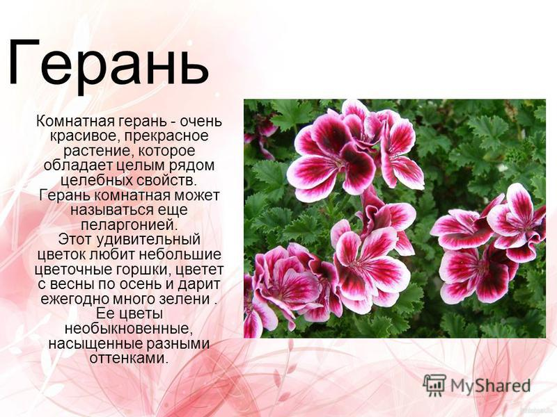Герань Комнатная герань - очень красивое, прекрасное растение, которое обладает целым рядом целебных свойств. Герань комнатная может называться еще пеларгонией. Этот удивительный цветок любит небольшие цветочные горшки, цветет с весны по осень и дари