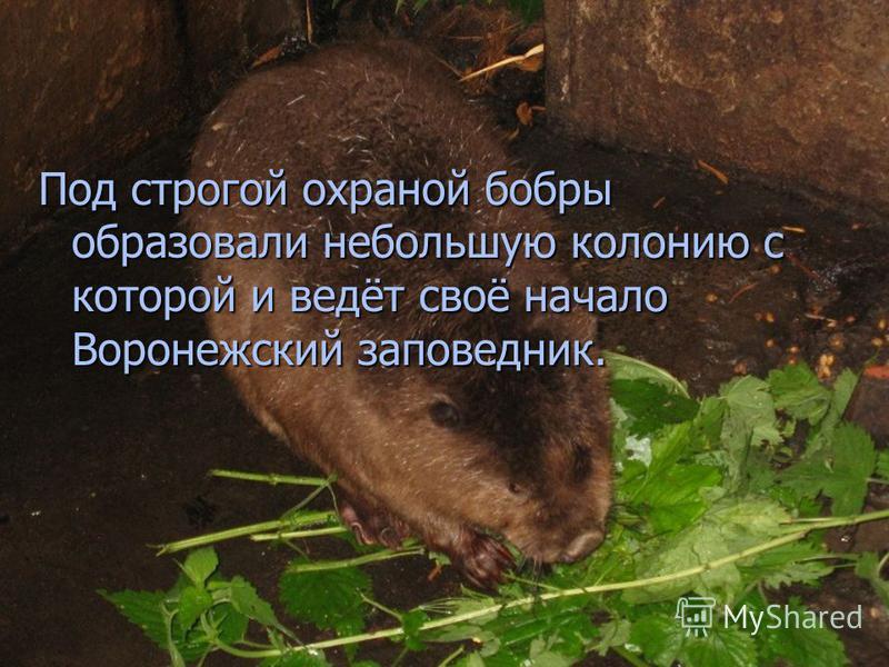 Под строгой охраной бобры образовали небольшую колонию с которой и ведёт своё начало Воронежский заповедник.