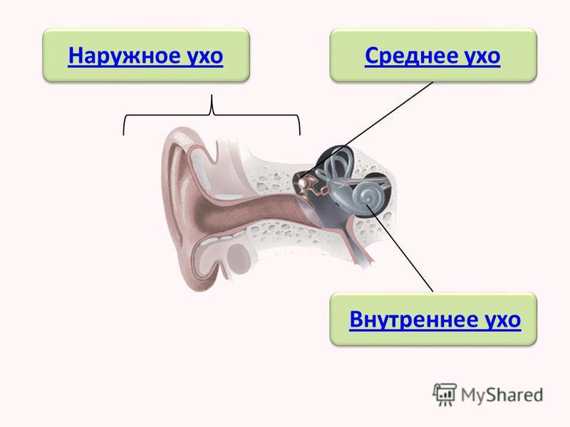 Уши – орган слуха. С помощью органа слуха мы слышим человеческую речь, музыку, звуки природы.
