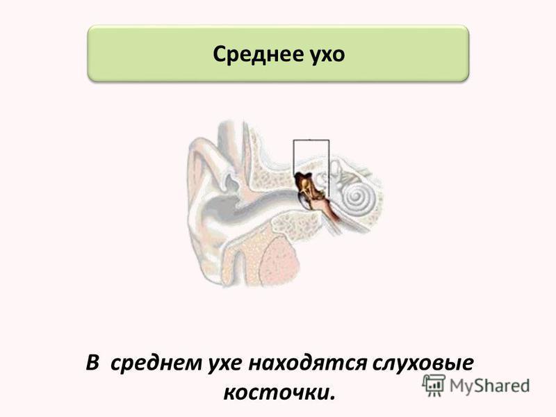 Строение ушной раковины Завиток Козелок Мочка Раковина Наружный слуховой проход