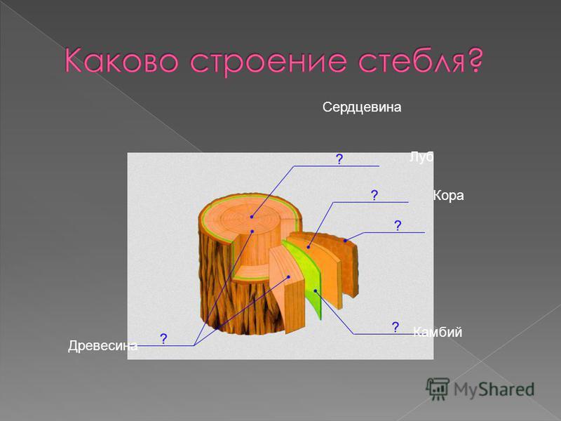 Кора Луб Камбий Древесина Сердцевина