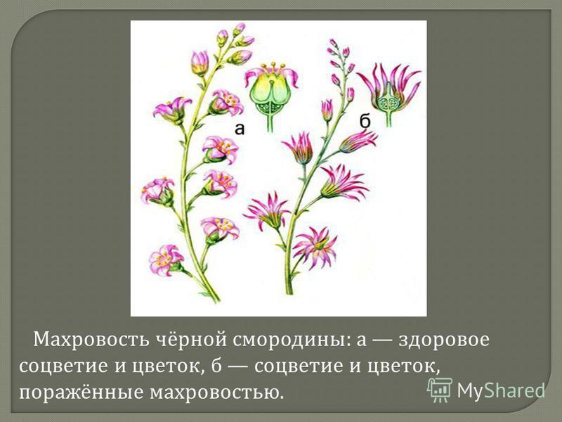 Махровость чёрной смородины : а здоровое соцветие и цветок, б соцветие и цветок, поражённые махровостью.