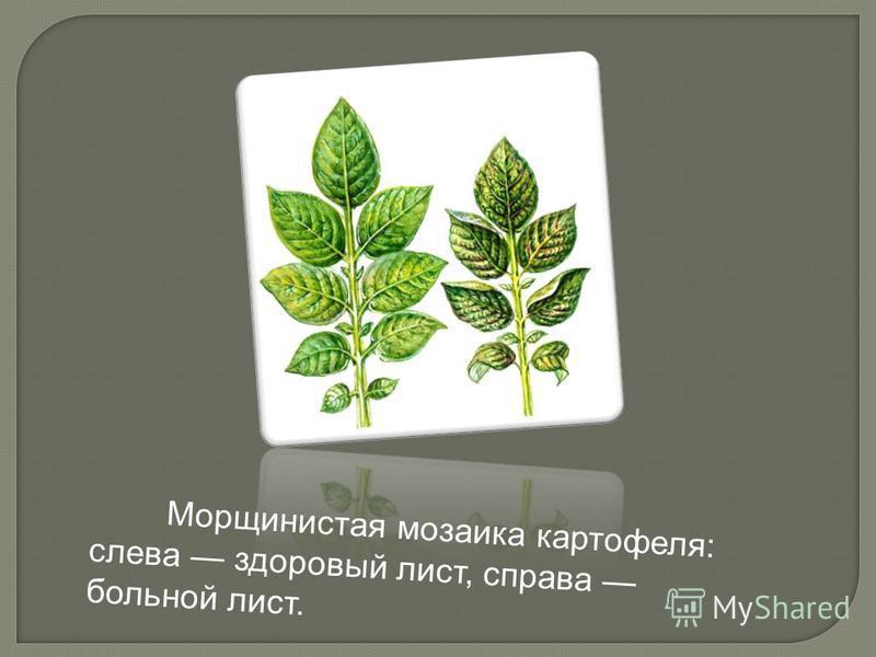 Морщинистая мозаика картофеля: слева здоровый лист, справа больной лист.