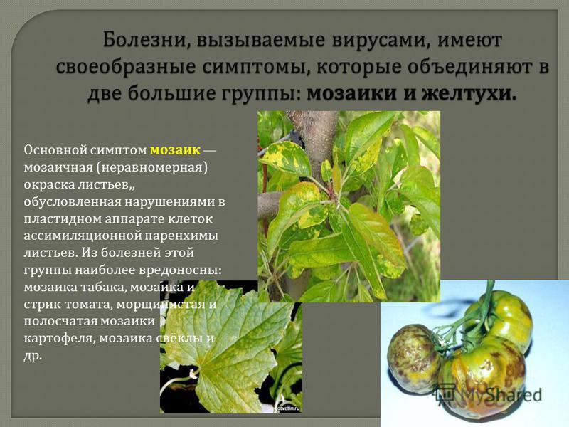 Болезни, вызываемые вирусами, имеют своеобразные симптомы, которые объединяют в две большие группы : мозаики и желтухи. Основной симптом мозаик мозаичная ( неравномерная ) окраска листьев,, обусловленная нарушениями в пластидном аппарате клеток ассим