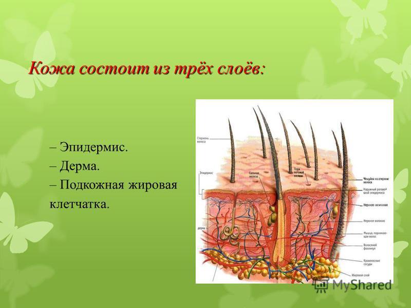 Кожа состоит из трёх слоёв: – Эпидермис. – Дерма. – Подкожная жировая клетчатка.