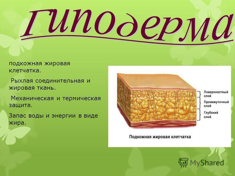 подкожная жировая клетчатка. Рыхлая соединительная и жировая ткань. Механическая и термическая защита. Запас воды и энергии в виде жира.