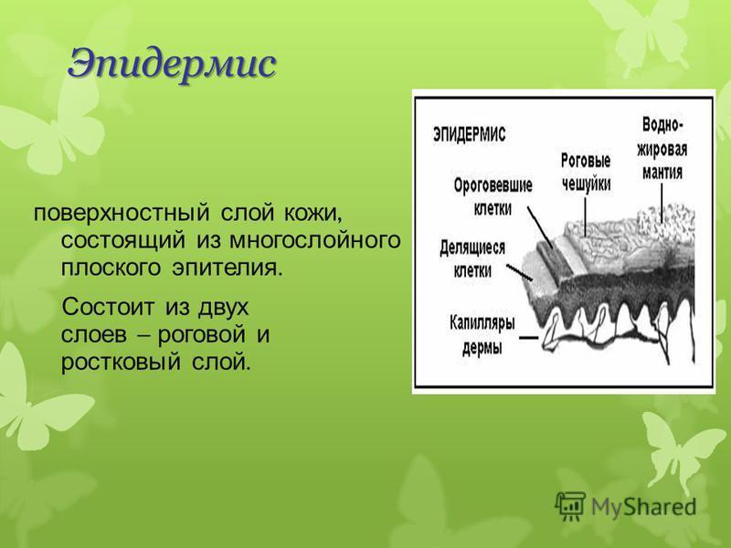 поверхностный слой кожи, состоящий из многослойного плоского эпителия. Состоит из двух слоев – роговой и ростковый слой. Эпидермис