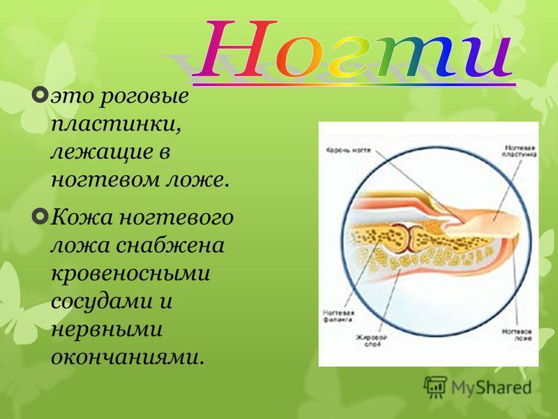 это роговые пластинки, лежащие в ногтевом ложе. Кожа ногтевого ложа снабжена кровеносными сосудами и нервными окончаниями.
