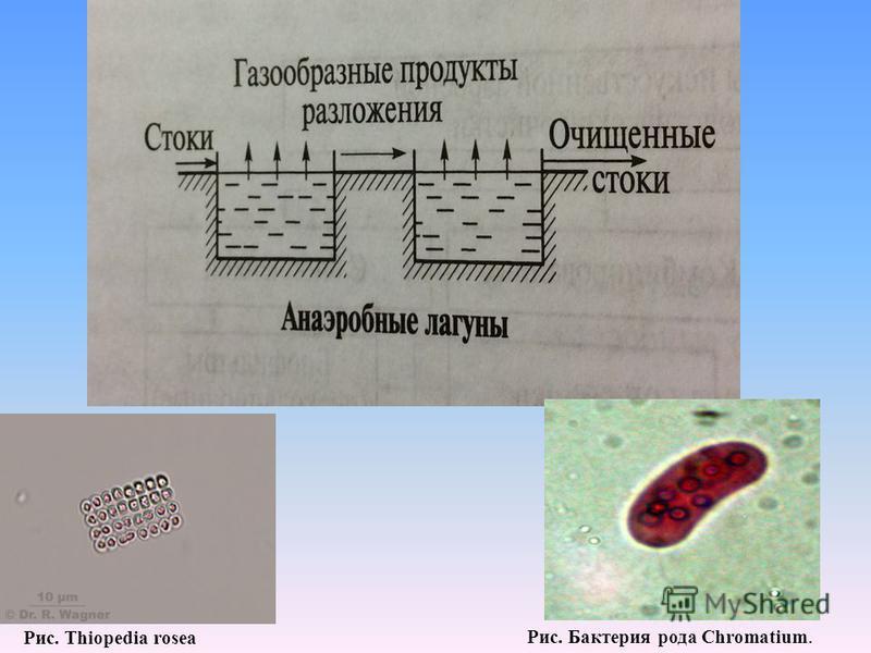 Рис. Thiopedia rosea Рис. Бактерия рода Chromatium.