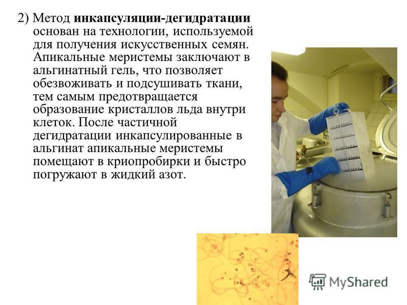 2) Метод инкапсуляции-дегидратации основан на технологии, используемой для получения искусственных семян. Апикальные меристемы заключают в альгинатный гель, что позволяет обезвоживать и подсушивать ткани, тем самым предотвращается образование кристал