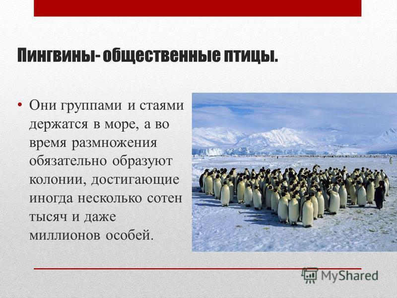 Пингвины- общественные птицы. Они группами и стаями держатся в море, а во время размножения обязательно образуют колонии, достигающие иногда несколько сотен тысяч и даже миллионов особей.