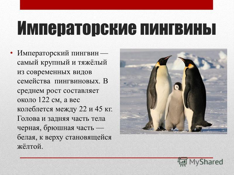 Императорские пингвины Императорский пингвин самый крупный и тяжёлый из современных видов семейства пингвиновых. В среднем рост составляет около 122 см, а вес колеблется между 22 и 45 кг. Голова и задняя часть тела черная, брюшная часть белая, к верх