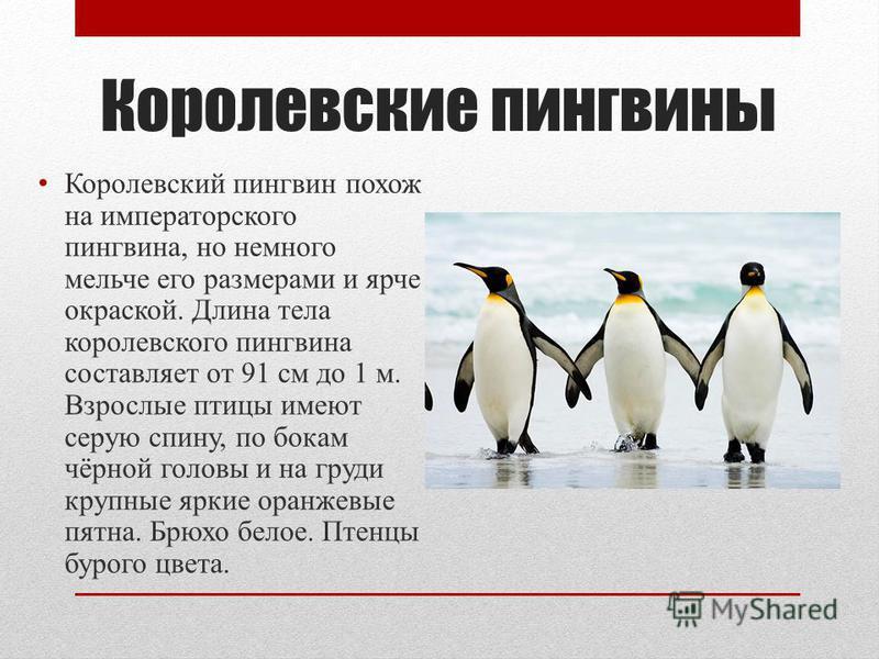 Королевские пингвины Королевский пингвин похож на императорского пингвина, но немного мельче его размерами и ярче окраской. Длина тела королевского пингвина составляет от 91 см до 1 м. Взрослые птицы имеют серую спину, по бокам чёрной головы и на гру