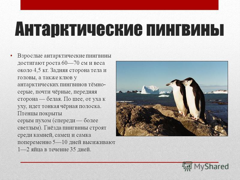Антарктические пингвины Взрослые антарктические пингвины достигают роста 6070 см и веса около 4,5 кг. Задняя сторона тела и головы, а также клюв у антарктических пингвинов тёмно- серые, почти чёрные, передняя сторона белая. По шее, от уха к уху, идет