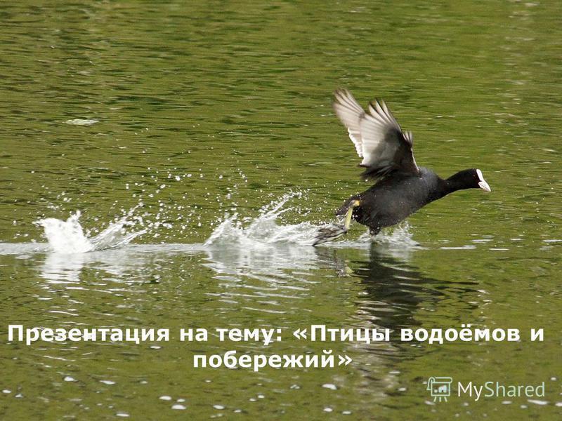 Презентация на тему: «Птицы водоёмов и побережий»