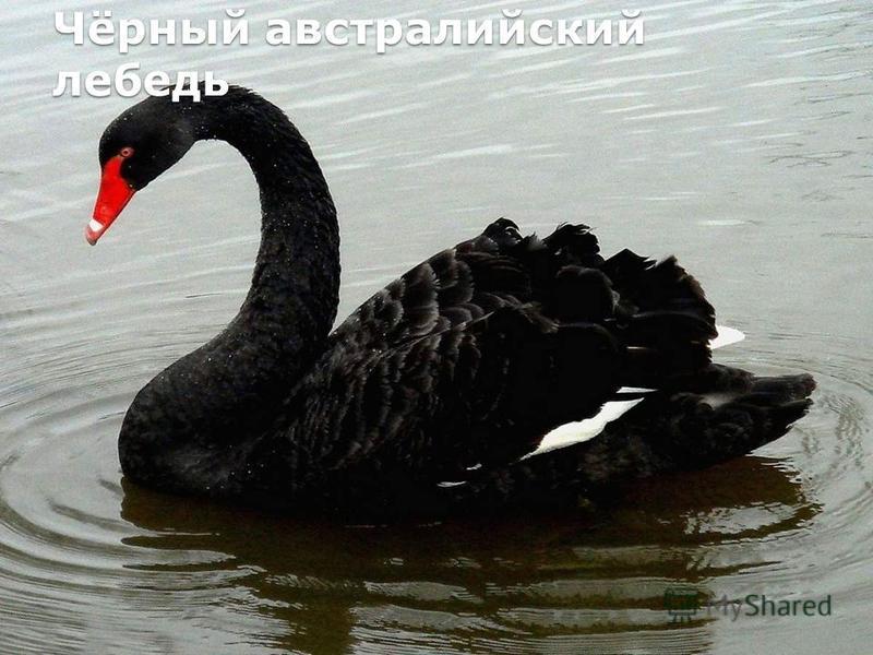Чёрный австралийский лебедь