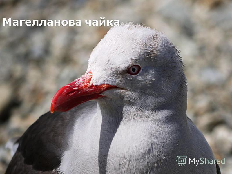 Магелланова чайка
